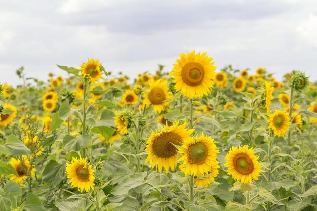 Pole Słoneczników I Błękitne Słońce Niebo, Lato W Tle Premium Zdjęcia