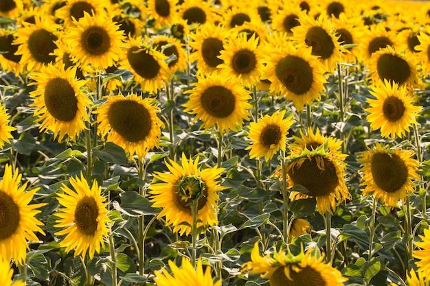 Pole słoneczników. kompozycja natury.