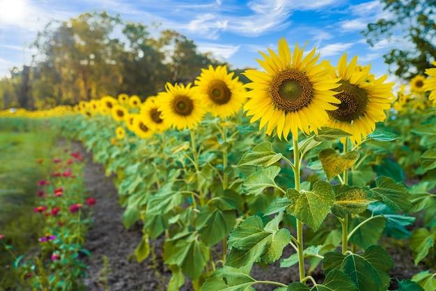 Pole słoneczników kwitnące tło letnie niebieskie niebo w tle w tajlandii