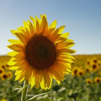 Pole słoneczników latem i czyste błękitne niebo