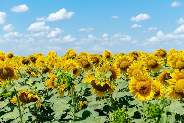 Pole słoneczników na niebieskim niebie. rolnictwo rolnictwo koncepcja gospodarki wiejskiej agronomia