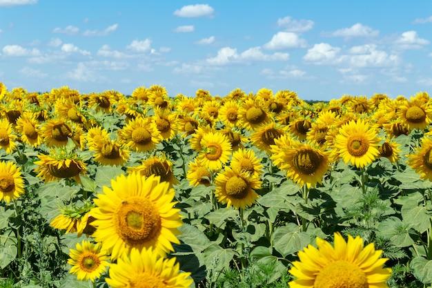 Pole słoneczników na niebieskim niebie.