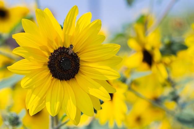 Pole słoneczników na niebieskim niebie
