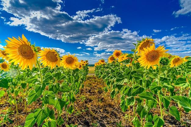 Pole słoneczników na tle błękitnego nieba. jasnożółte kwitnące słoneczniki w słoneczny letni dzień.