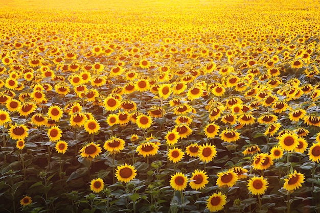 Pole słoneczników na zachód słońca