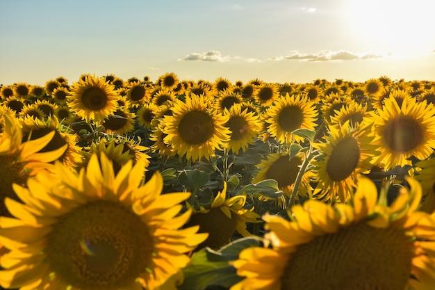 Pole słoneczników o zachodzie słońca, wiele słoneczników
