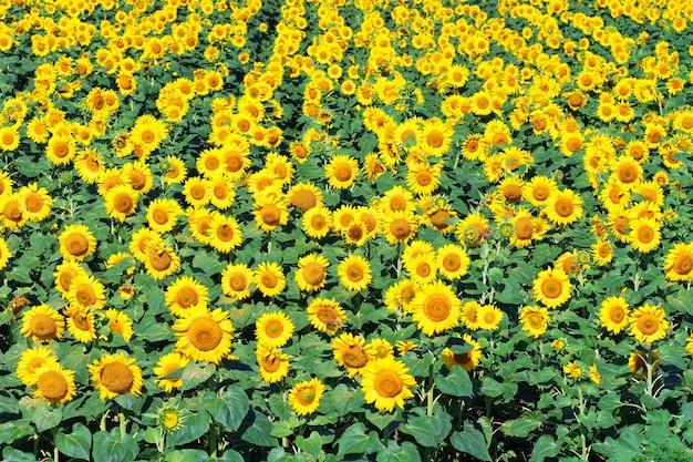 Pole słoneczników. pole słoneczników latem