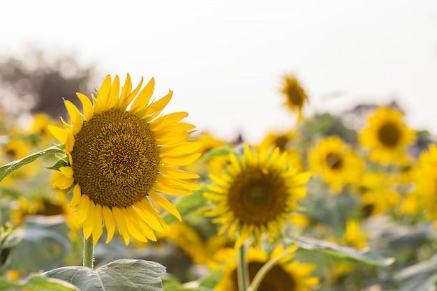 Pole słoneczników w lecie