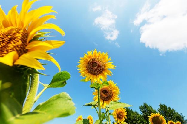 Pole słoneczników w letni dzień
