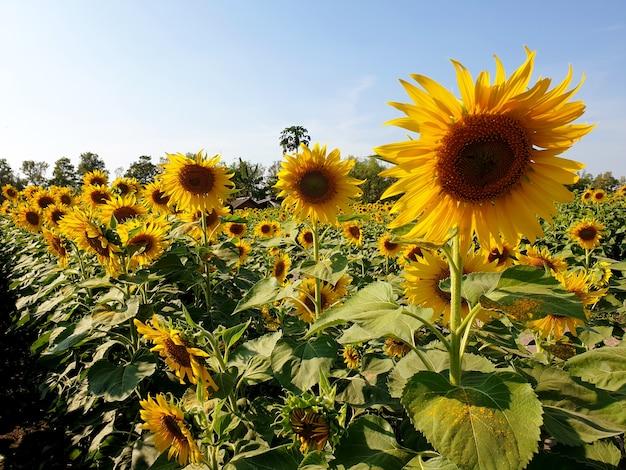 Pole słoneczników w ogrodzie
