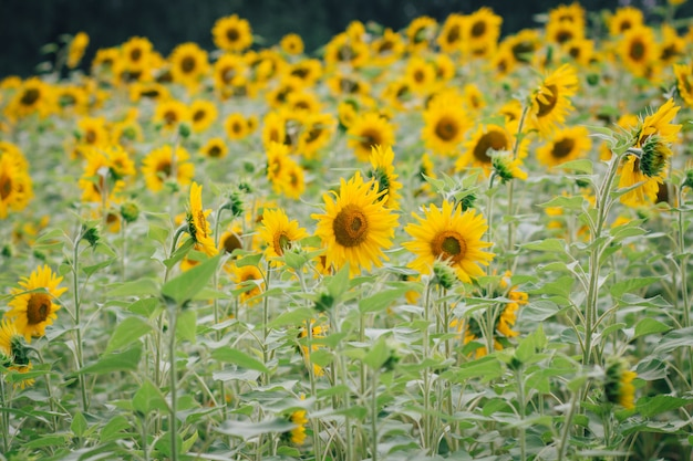 Pole słoneczników w pochmurny dzień