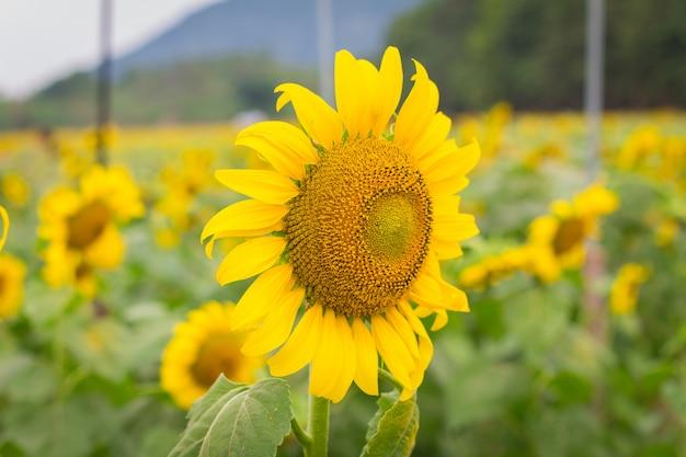 Pole słoneczników w styczniu, farma słoneczników