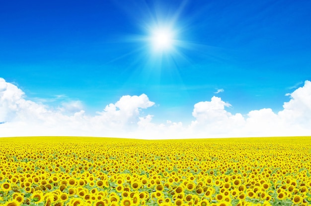 Pole słoneczników