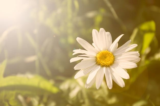 Pole stokrotka kwiat na tle trawy w słońcu. naturalne tło.