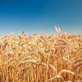 Pole trawy. pszenica łąkowa pod niebem