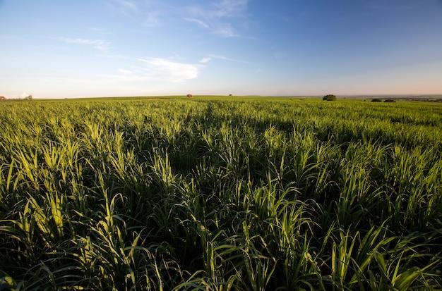Pole trzciny cukrowej o zachodzie słońca