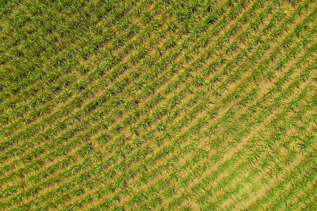 Pole trzciny cukrowej widziane z góry w słoneczny dzień w brazylii