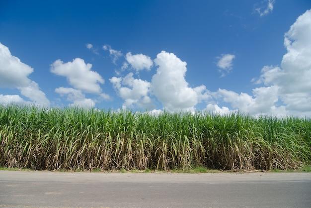Pole trzciny cukrowej