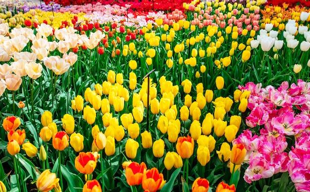 Pole tulipanów w holandii. holandia