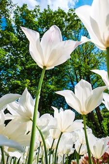 Pole tulipanów w ogrodach keukenhof, lisse, holandia