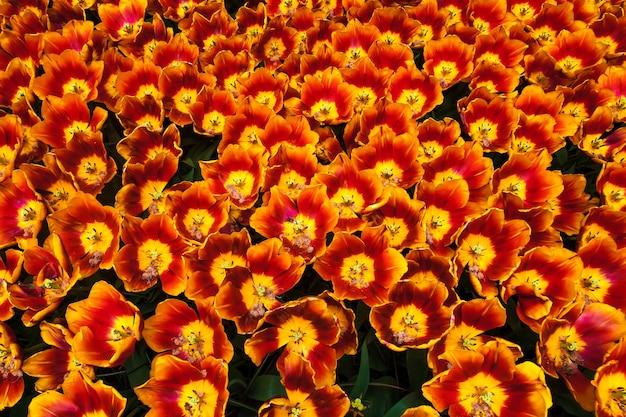 Pole tulipanów w ogrodzie kwiatowym keukenhof, lisse, holandia, holandia