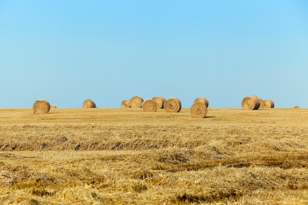 Pole upraw zbożowych - pole uprawne, na którym zbierane są zboża, pszenica.