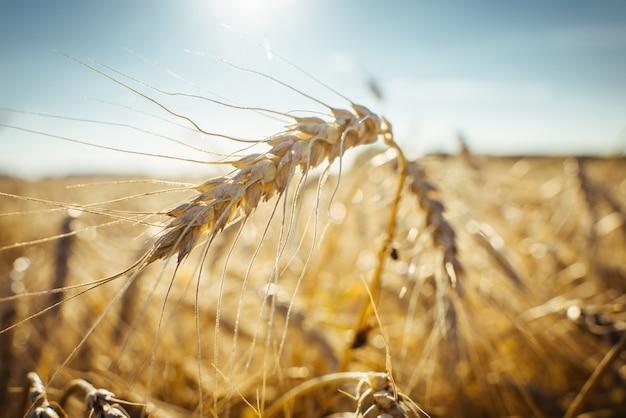 Pole uprawne dojrzałe kłosy pszenicy koncepcja bogatych zbiorów