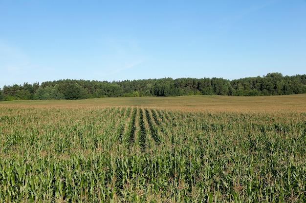 Pole uprawne latem, na którym rośnie niedojrzała zielona kukurydza