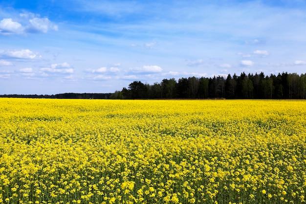 Pole uprawne, na którym kwitnie żółty rzepak.