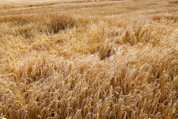 Pole uprawne, na którym po burzy jest na ziemi dojrzała żółta pszenica