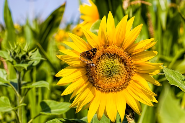 Pole uprawne, na którym roczne słoneczniki są uprawiane przemysłowo, jasnożółte kwiaty słoneczników, na których siedzi motyl, zbliżenie