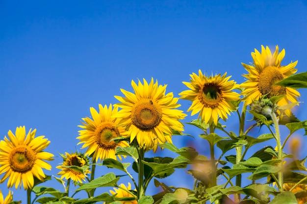 Pole uprawne, na którym roczne słoneczniki są uprawiane przemysłowo, jasnożółte kwiaty słoneczników podczas zapylania, zbliżenie
