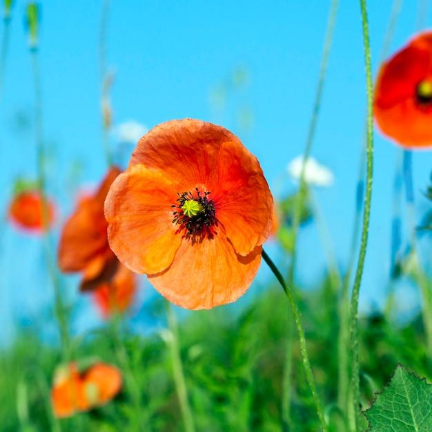 Pole uprawne, na którym rosły chwasty, w tym mak czerwony, błękitne niebo