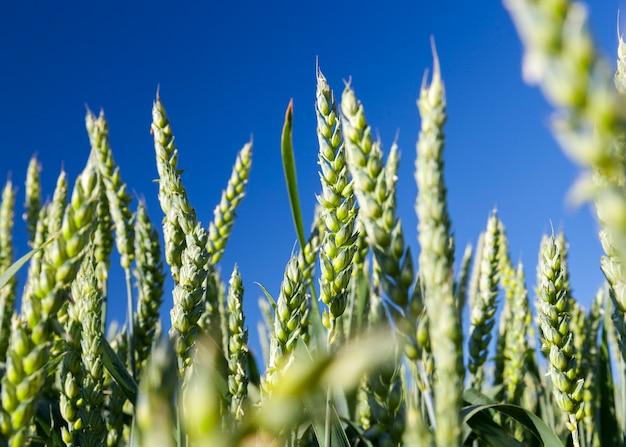 Pole uprawne, na którym rosną niedojrzałe młode zboża, pszenica. błękitne niebo na powierzchni