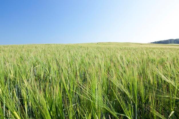 Pole uprawne, na którym rosną niedojrzałe młode zboża, pszenica. błękitne niebo w tle