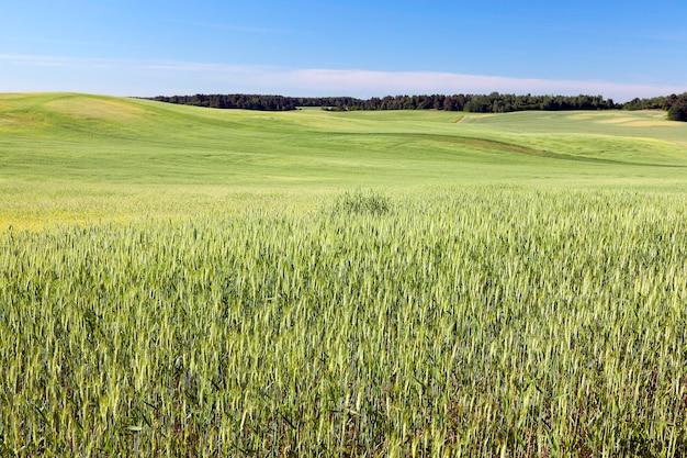 Pole uprawne, na którym rosną niedojrzałe młode zboża, pszenica. błękitne niebo w