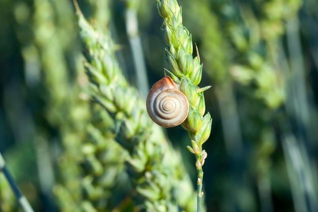 Pole uprawne, na którym rosną niedojrzałe młode zboża, pszenica. na uchu jest ślimak