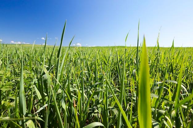 Pole uprawne, na którym rosną niedojrzałe młode zboża, pszenica.