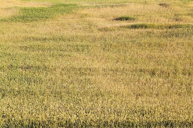 Pole uprawne, na którym rosną niedojrzałe zboża, pszenica.