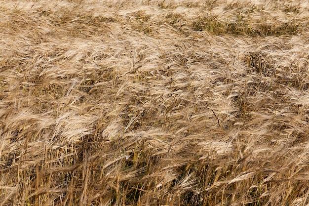 Pole uprawne, na którym rosną suche zboża pomarańczowe i żółte. sezon jesienny