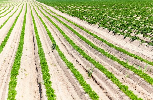 Pole uprawne, na którym rosną zielone młode marchewki. mała głębia ostrości. ziemniaki z drugiej strony
