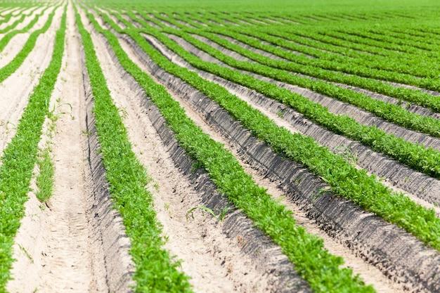Pole uprawne, na którym rosną zielone młode marchewki.