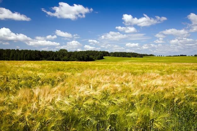 Pole uprawne, na którym rosną zielone niedojrzałe ziarna