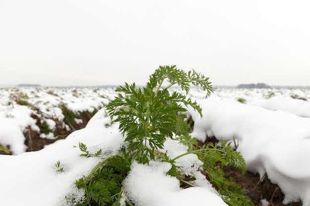 Pole uprawne, na którym rośnie dojrzała marchewka. zielone wierzchołki roślin pokryte zaspami po opadach śniegu. zdjęcie zbliżenie