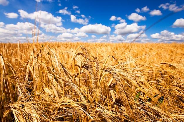 Pole uprawne, na którym rośnie dojrzała pszenica o złotym kolorze