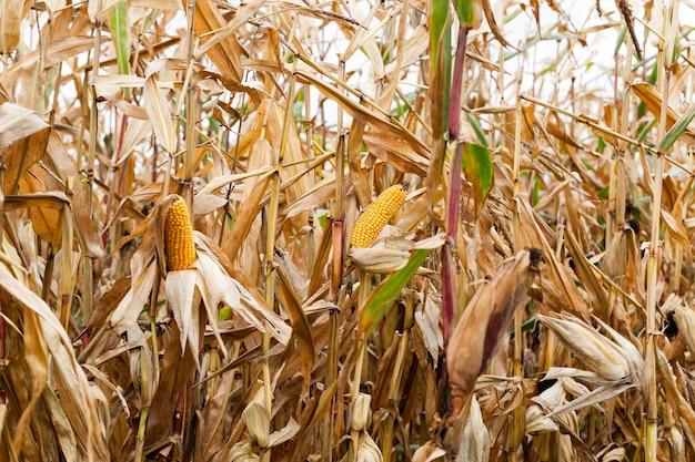 Pole uprawne, na którym rośnie dojrzała żółta kukurydza. zbliżenie w sezonie jesiennym