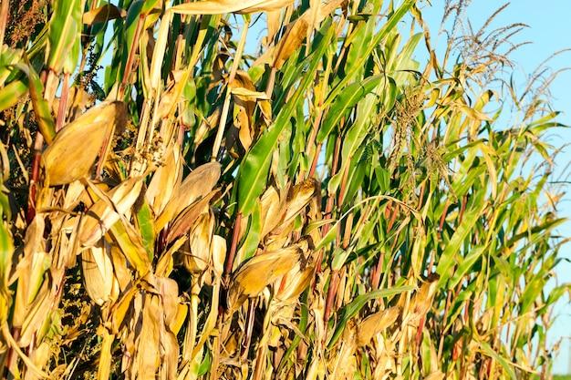 Pole uprawne, na którym rośnie dojrzała żółta kukurydza. zdjęcie z bliska w sezonie jesiennym