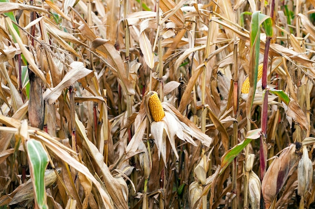 Pole uprawne, na którym rośnie dojrzała żółta kukurydza.