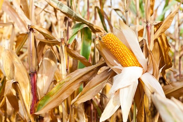 Pole uprawne, na którym rośnie gotowa do zbioru pożółkła kukurydza