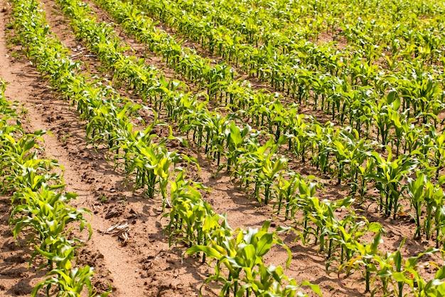 Pole uprawne, na którym rośnie młoda kukurydza